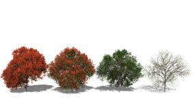Regia Delonix (Four Seasons) Στοκ Φωτογραφίες