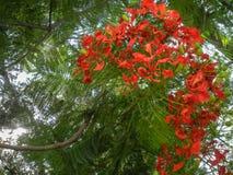 Regia do Delonix uma planta de florescência crescida no verão com o poinciana real vermelho alaranjado das flores, com fruto foto de stock