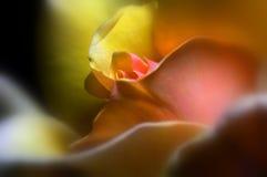 Regina ambrata Rosa Fotografie Stock