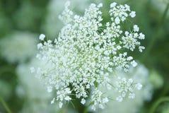Regina Anne Lace Flower Series Immagine Stock Libera da Diritti