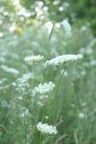 Regina Anne Lace Flower Series Immagini Stock