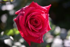 Regina dei fiori - ---- fiore rosa immagini stock libere da diritti