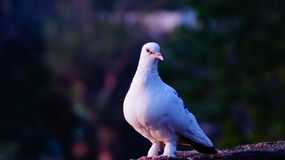 Regina dei piccioni fotografie stock