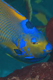 regina del angelfish Fotografia Stock
