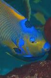 regina del angelfish fotografia stock