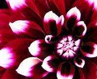 Regina del giardino, bella macro del fiore della dalia immagini stock