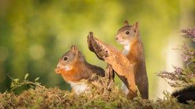 Regina dello scoiattolo Immagini Stock Libere da Diritti