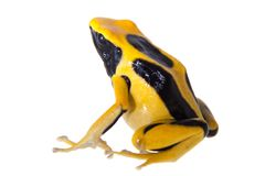 Regina Dyeing Poison pil som frogling, Dendrobates tinctorius, på vit Arkivbilder