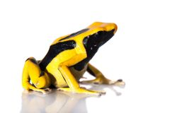 Regina Dyeing Poison pil som frogling, Dendrobates tinctorius, på vit Royaltyfria Bilder