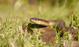 Regina grahamii. Commonly known as Graham's crayfish snake, is a species of nonvenomous colubrid snake, which is endemic to North America Royalty Free Stock Photography