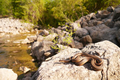 Regina grahamii (Graham's Crayfish Snake) Royalty Free Stock Photos