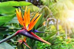 鹤望兰Reginae特写镜头(天堂鸟花) 马德拉岛是 免版税图库摄影