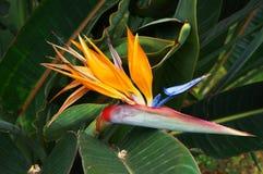 reginae de Strelitzia de fleur d'Oiseau-de-paradis Photographie stock