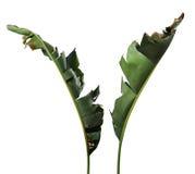 Reginae de Strelitzia, Heliconia, oiseau de feuillage de paradis d'isolement sur le fond blanc photos libres de droits