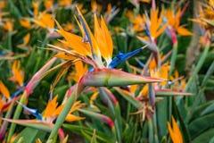 Reginae de Strelitzia, oiseau de fleur de paradis image stock