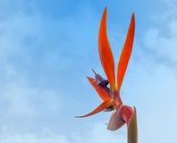 Reginae del Strelitzia, ave del paraíso Fotografía de archivo