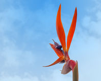 Reginae Strelitzia, райская птица Стоковая Фотография