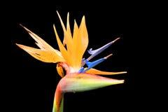 Reginae Strelitzia цветка райской птицы изолированные на черной предпосылке, Мадейре, Португалии Стоковая Фотография RF
