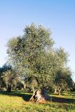 Region Italiens, Puglia, s?dlich des Landes Traditionelle Plantage von Olivenb?umen stockbild