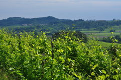Regione del vino di Colli Orientali del Friuli, tramonto Immagini Stock