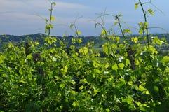 Regione del vino di Colli Orientali del Friuli, tramonto Fotografia Stock Libera da Diritti