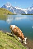 Regione di Jungfrau, Svizzera Fotografie Stock Libere da Diritti
