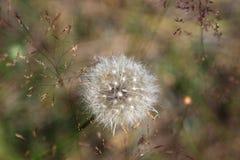 Regione di Mosca - della Russia - fine-u della testa del seme del Taraxacum di Dundelion Fotografia Stock Libera da Diritti