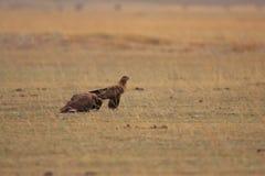 Regione montana Buzzard fotografie stock