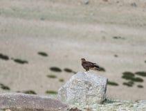 Regione montana Buzzard seent nel lago Tsokar fotografie stock libere da diritti