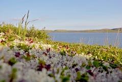 Regione polare della tundra della spiaggia di estate Immagini Stock