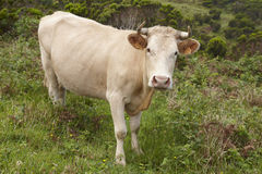Registered cow on the countryside in Flores island. Azores, Port Stock Images