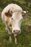 Registered cow on the countryside in Flores island. Azores, Port Stock Photography