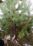 Registrazione illegale per il nuovo anno Taglio dell'albero di Natale immagini stock