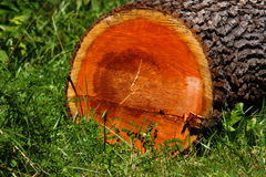 Registro colorido de la madera dura Foto de archivo