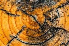 Registro de madera laqueado Foto de archivo