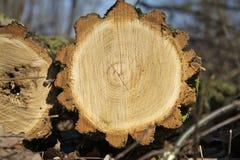 Registro del pino del corte con un corte transversal simétrico Foto de archivo libre de regalías