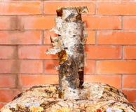 Registro natural fresco del abedul que se coloca delante de la pared de ladrillo Imagen de archivo
