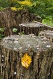 Registro tajado del árbol con la hoja de oro del otoño fotografía de archivo
