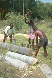 Registros de rachadura do palmyra Fotografia de Stock