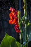 Regn & en röd blomma Royaltyfria Foton