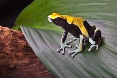 regn för gift för leaf för groda för amazon pilskog fotografering för bildbyråer