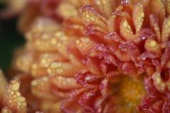 Regn gjord genomvåt krysantemum Royaltyfria Foton