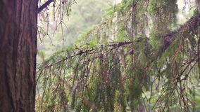 Regn i en pinjeskog stock video