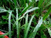 Regn på ett gräs Arkivbild