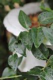 Regn på sidor Royaltyfria Bilder