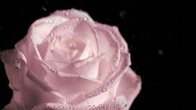 Regn som faller i toppen ultrarapid på rosa färgros arkivfilmer