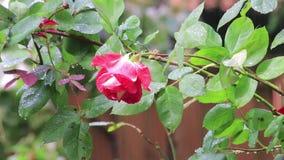 Regn som faller på rosa färgros i gård