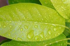 Regn som tappas på bladet arkivbild