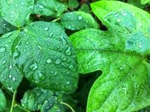 Regn som tappas på gröna sidor Arkivfoto