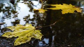 Regn tappar att falla på pöl med de gula lönnlöven arkivfilmer